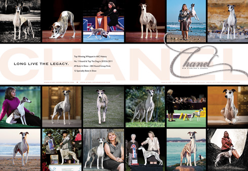 Chanel is now the Top Winning Whippet in AKC History